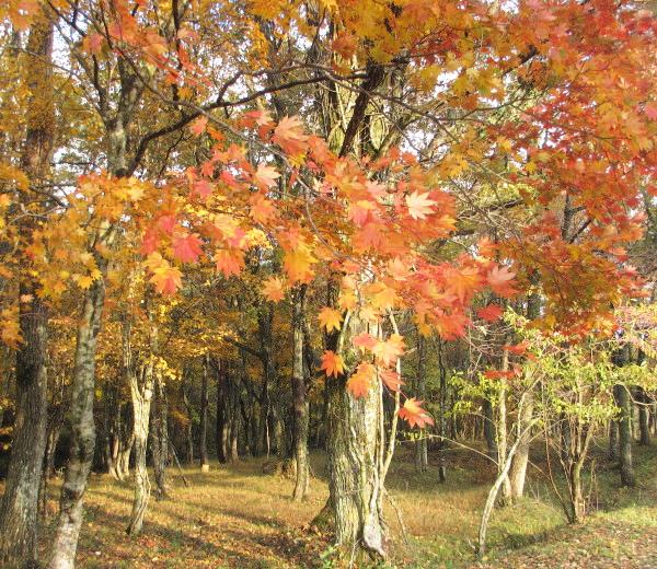 八幡高原の紅葉